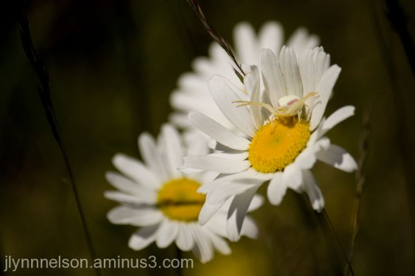 spider waiting for lunch to land on a daisy