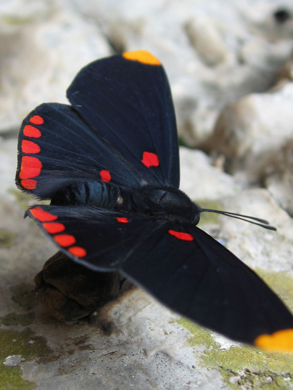 mexican pixie butterfly