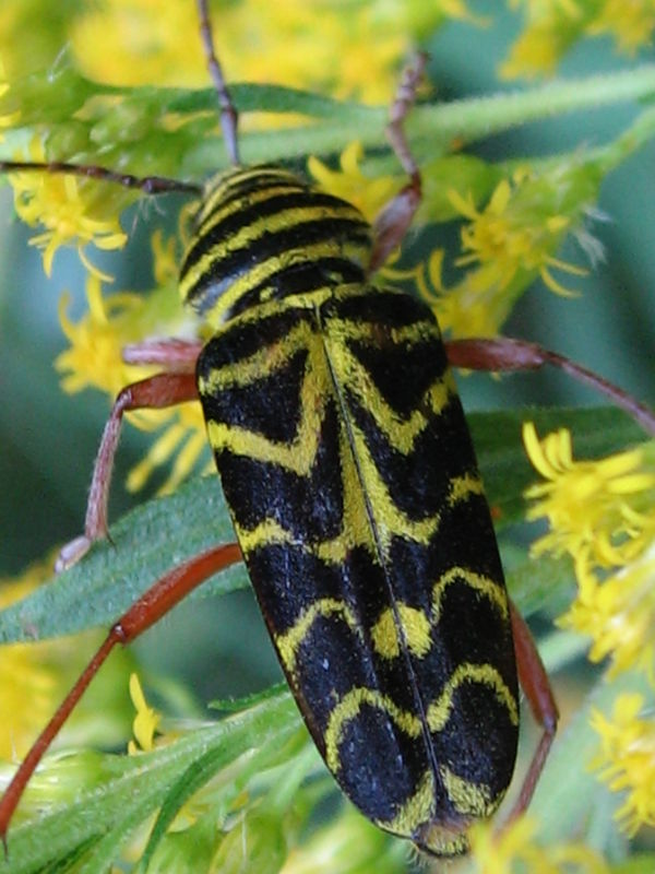 locust borer on flower