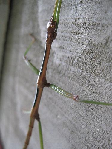 walking stick bug