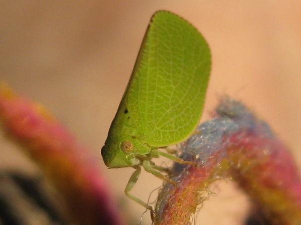 green leaf hopper