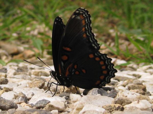 swallowtail macro