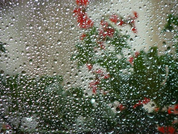 geranios y lluvia