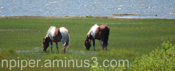Two Pinto Ponies grazing on Assateague Island