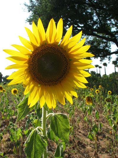 Sunflower , Bangalore , India