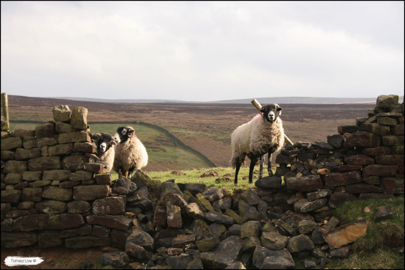 Sheep In North England