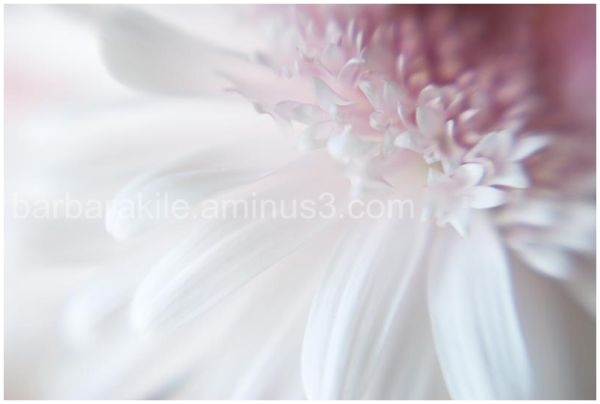 Selective focus applied to Gerbera daisy