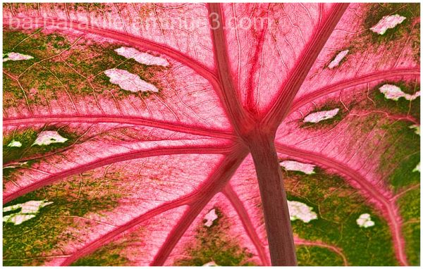 Underneath side of caladium plant