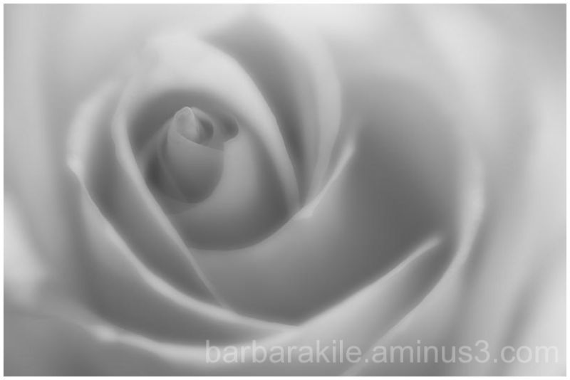 Soft focus rose macro