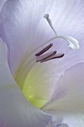 Macro inside a gladiola