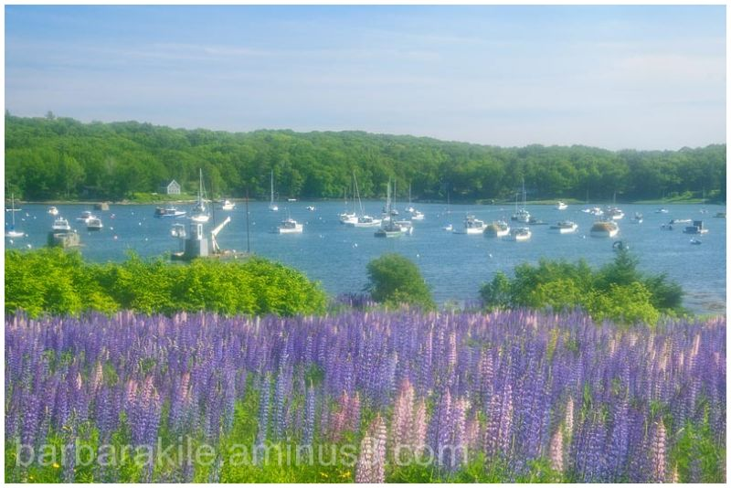 Lupines on the edge of the bay in ME.
