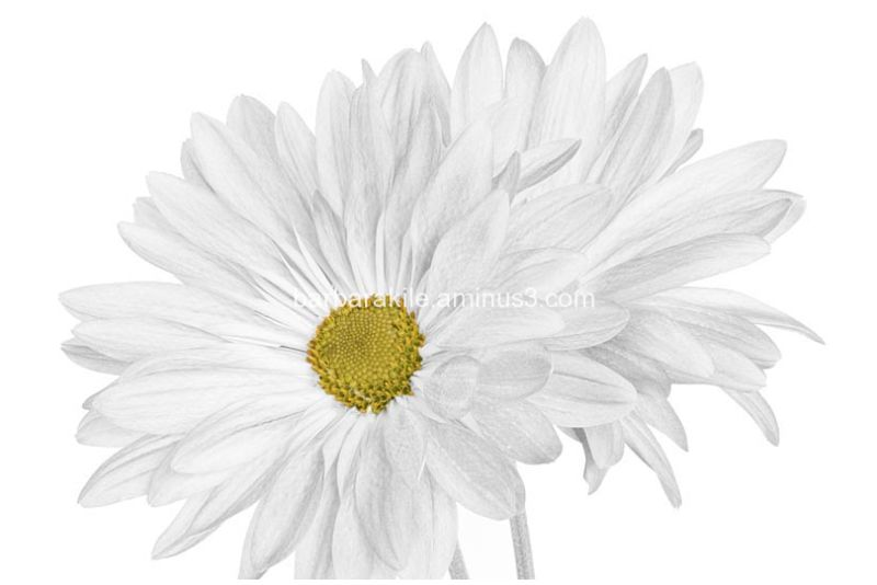 Selective color on a black and white daisy