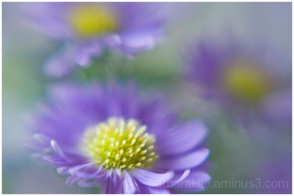Grouping of daisies captured with a Lensbaby