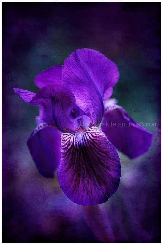 Texture overlay of purple iris