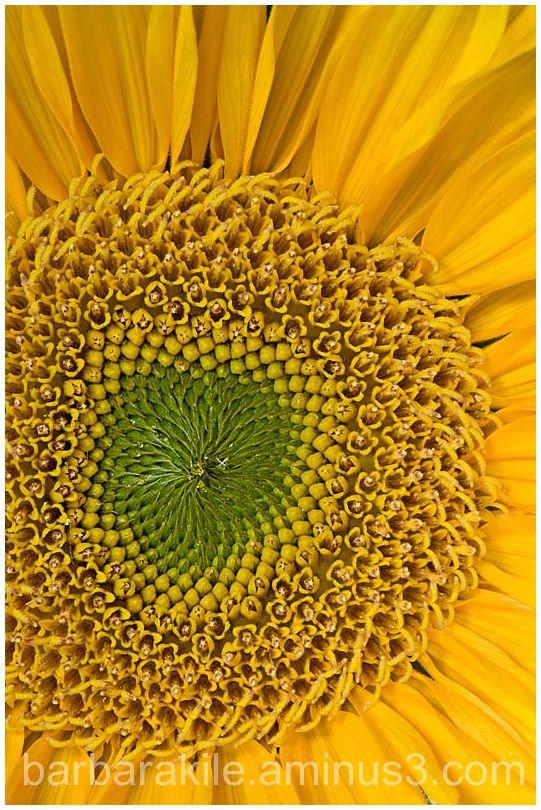 macro of sunflower center