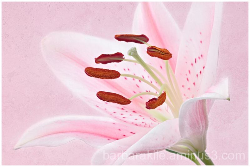 Light texture overlay on pink lily