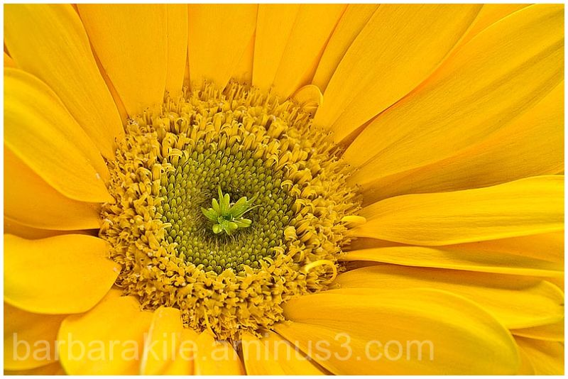 Macro of daisy center