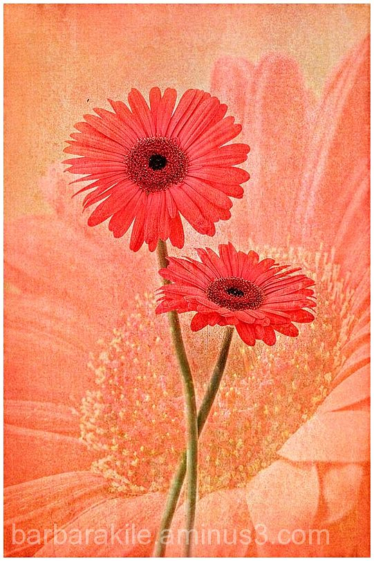Texture overlay of daisies