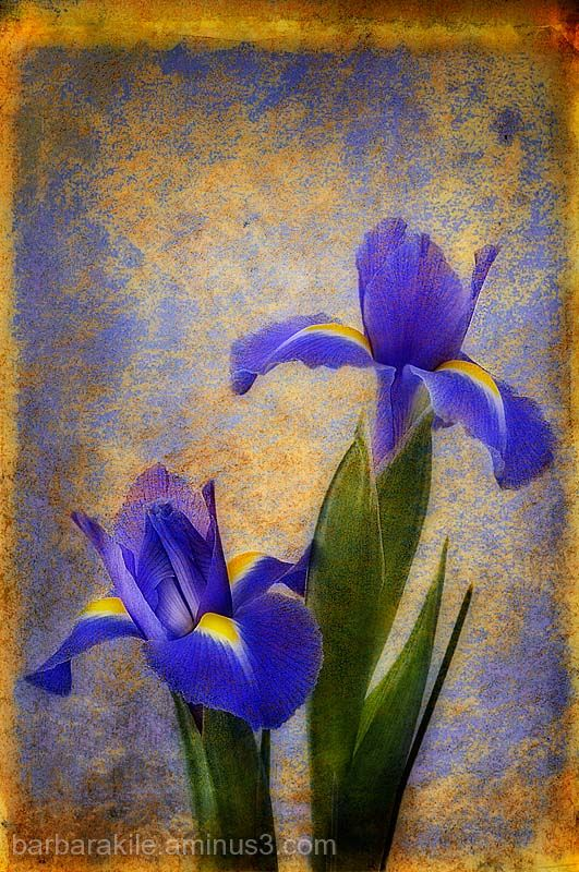 Texture overlay of wild irises