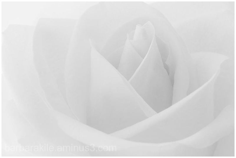 rose in grayscale