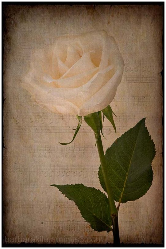 texture overlay of white rose