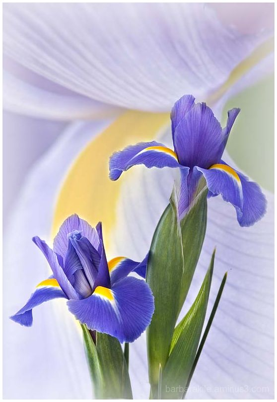 Overlay of 2 images of purple iris