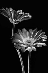 Solarization of daisies