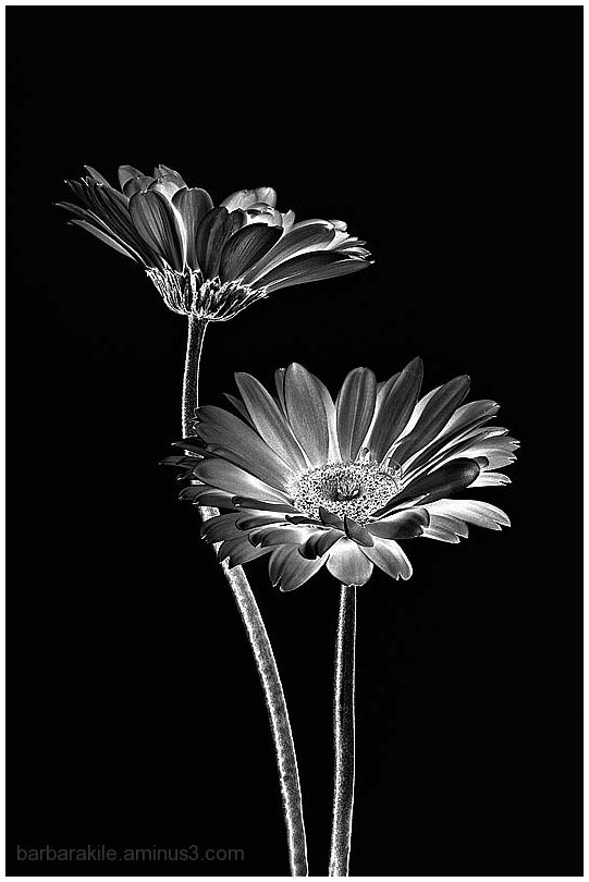 Solarization of daisies