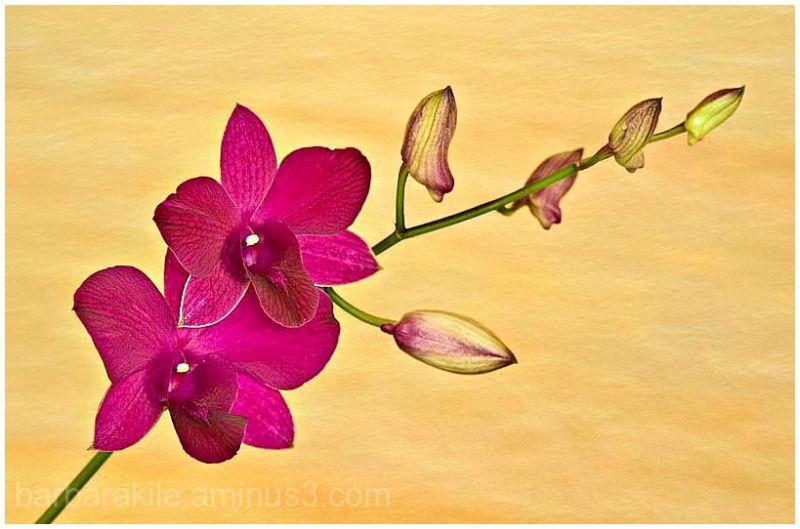 texture overlay of fuschia orchid