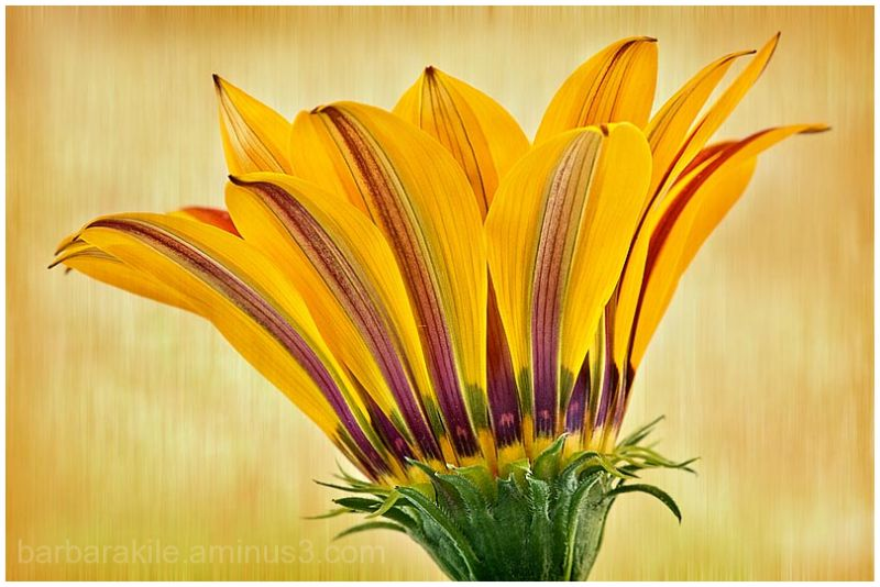 texture overlay of gazania showing details