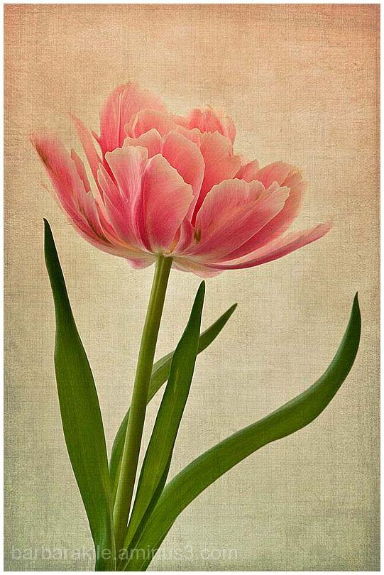 Texture overlay of tulip