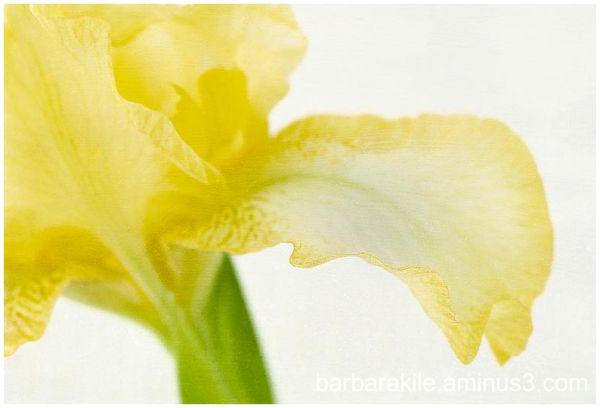 Texture overlay of yellow iris and ruffled petal