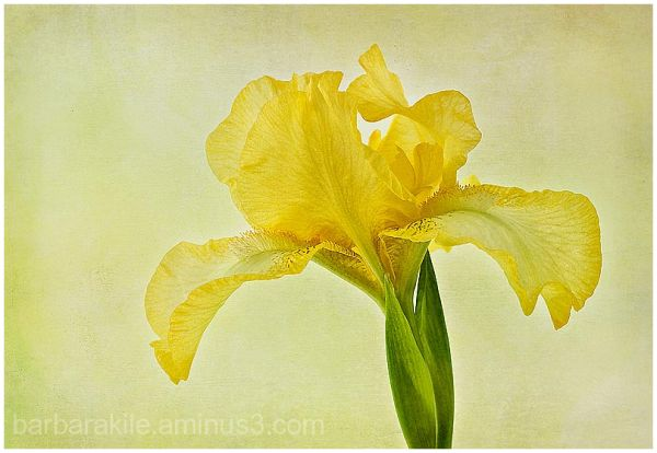 Texture overlay of yellow iris and details