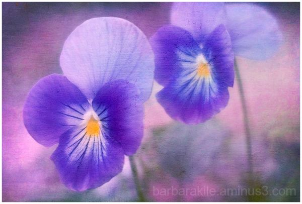 Viola flower with texture overlay