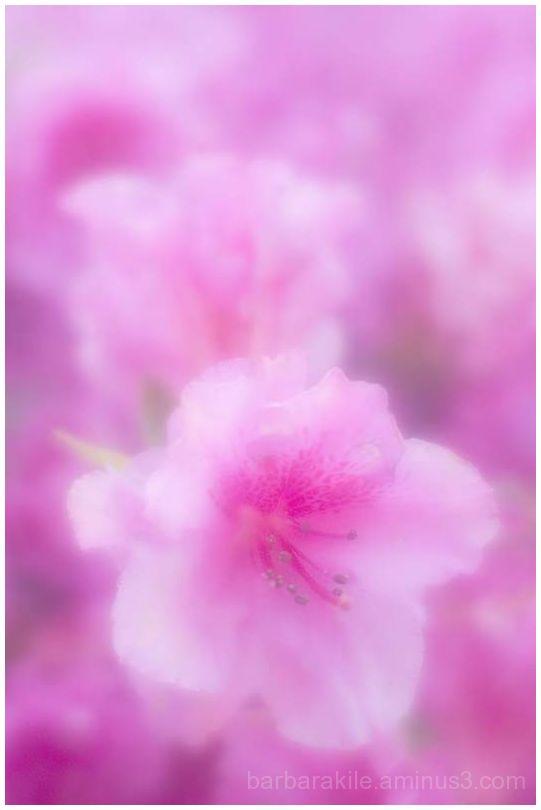 Lensbaby image of azalea