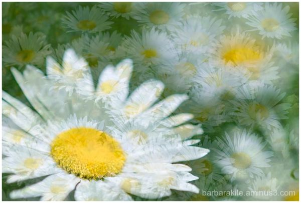 Overlay with multiple exposure of a daisy
