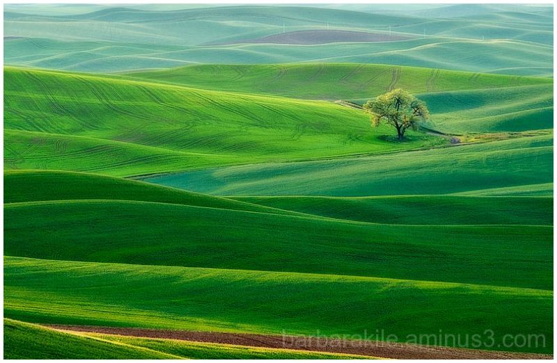 Lone tree in Palouse landscape