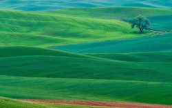 Lone tree and farmland in the Palouse