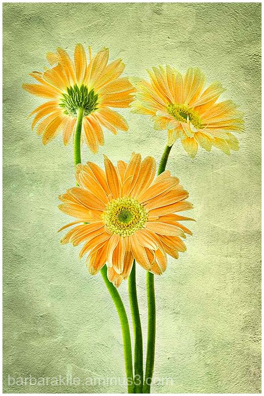 Texture overlay of gerbera daisies