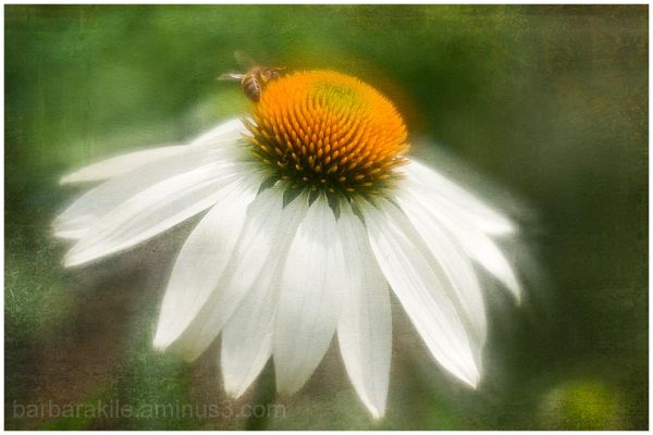 Texture overlay of cone flower