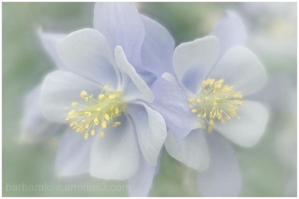 Lensbaby image of Columbine