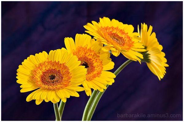 Still life of yellow daisies