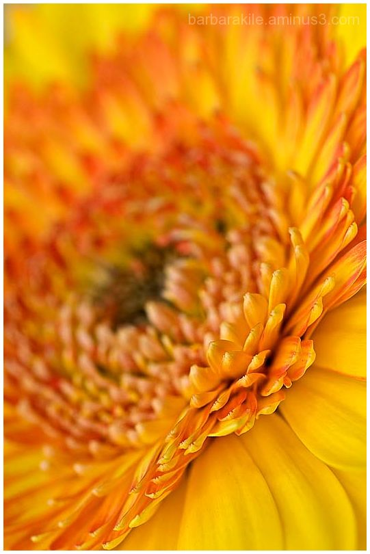 Selective focus of yellow daisy