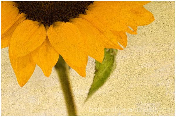 sunflower with texture overlay