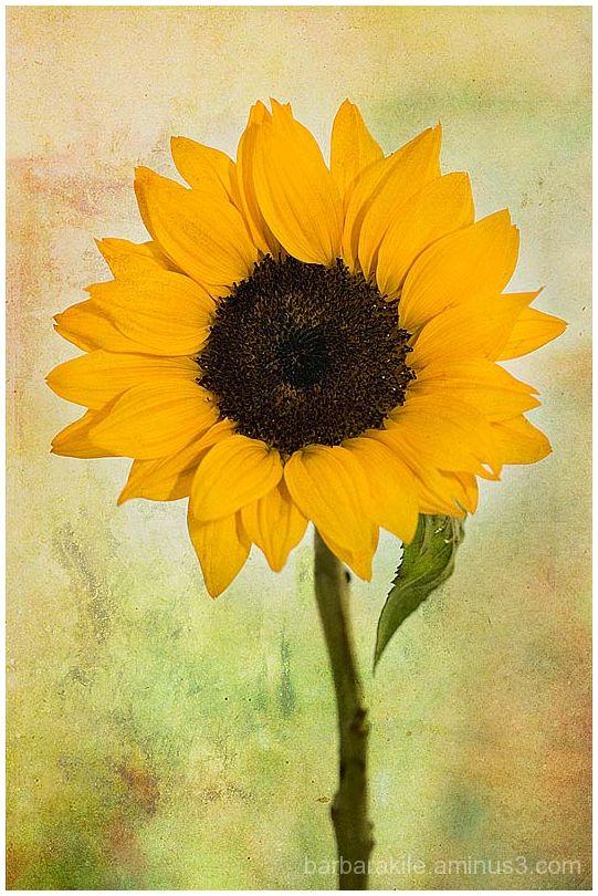 texture overlay of sunflower