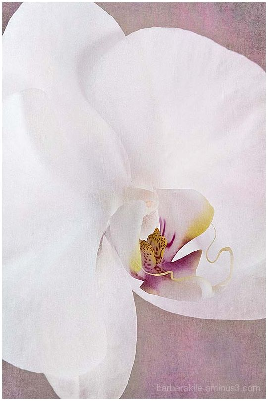 Texture overlay of orchid