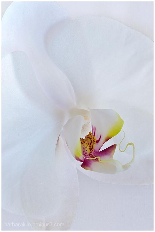 Texture overlay of white orchid