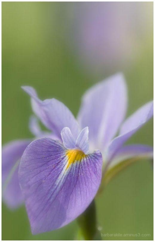 Wild iris, soft focus