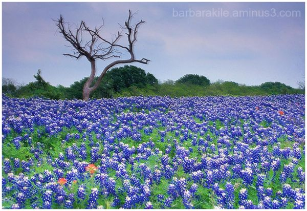 Bluebonnets, paintbrush and dead tree