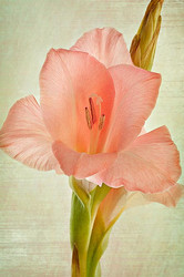 Gladiolus with texture overlay